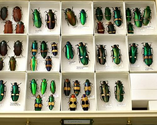 field museum entomology cabinets